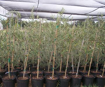 Nursery Lone Star Olive Ranch Is An Tree